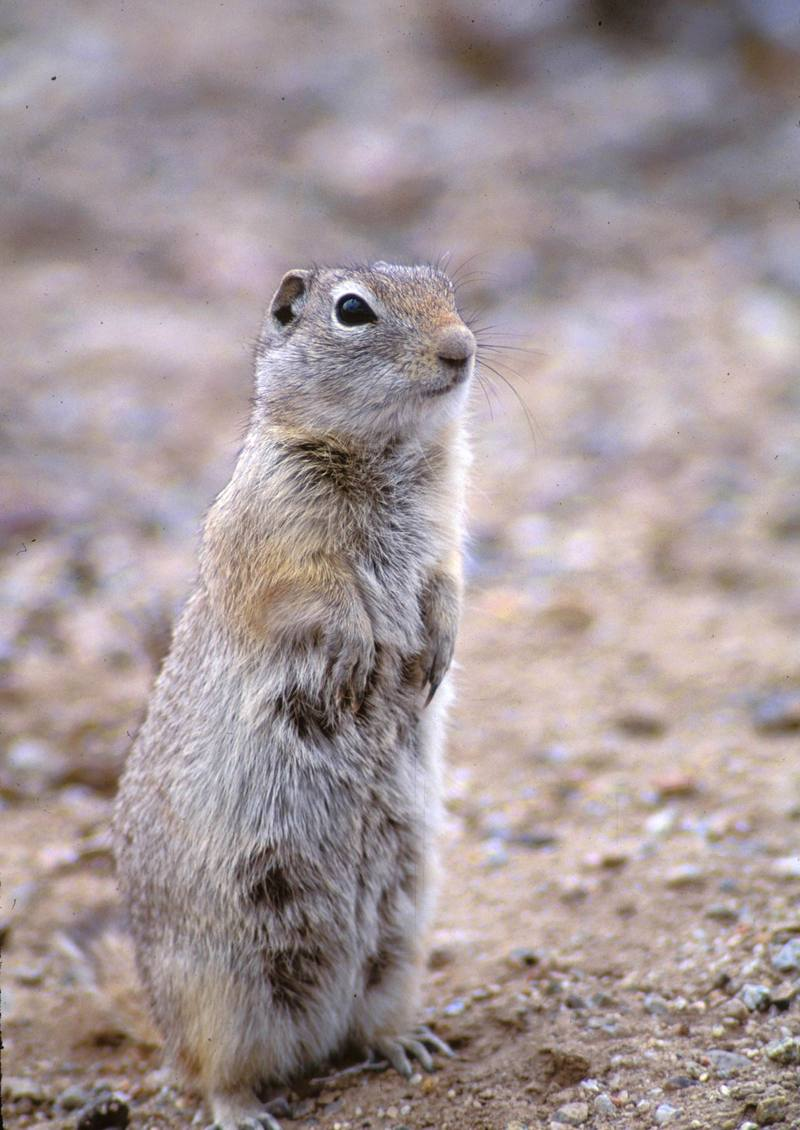 Wyoming Ground Squirrel (Spermophilus elegans) <!--와이오밍땅다람쥐-->; DISPLAY FULL IMAGE.
