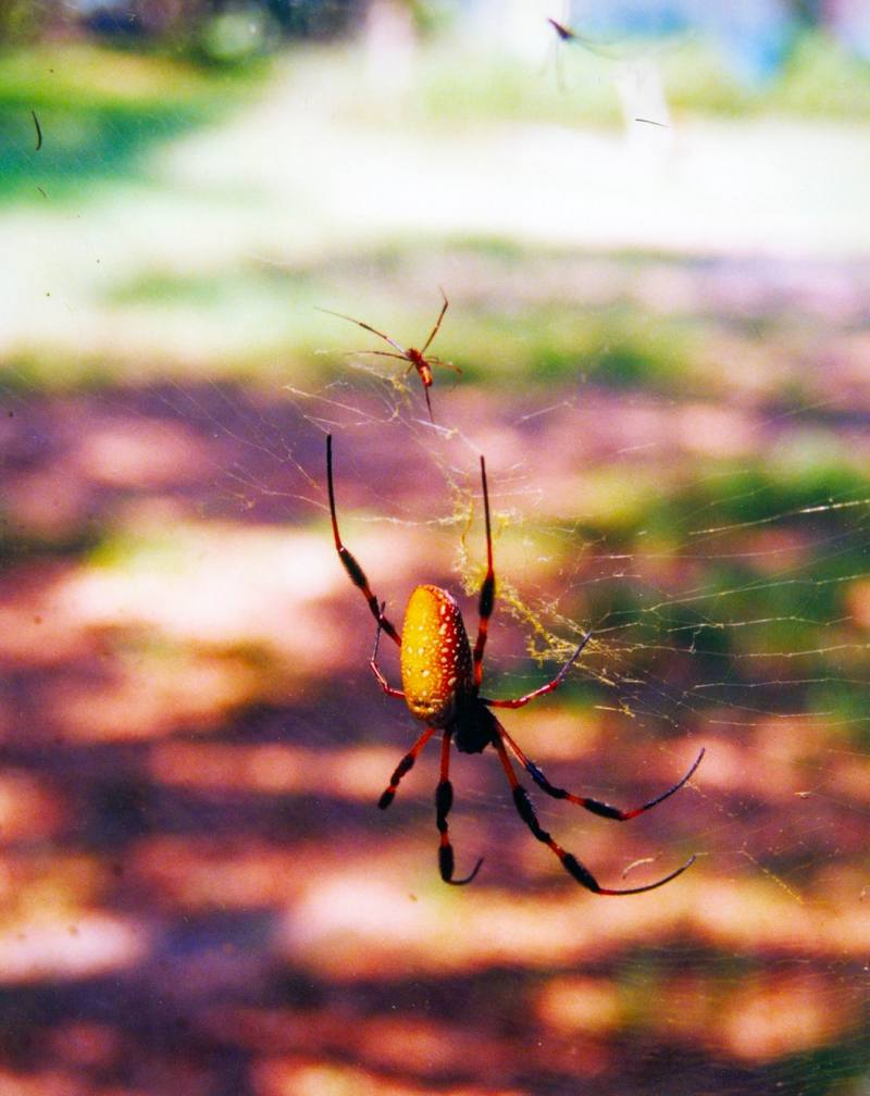 Golden Silk Spider (Nephila clavipes) <!--아메리카무당거미-->; DISPLAY FULL IMAGE.