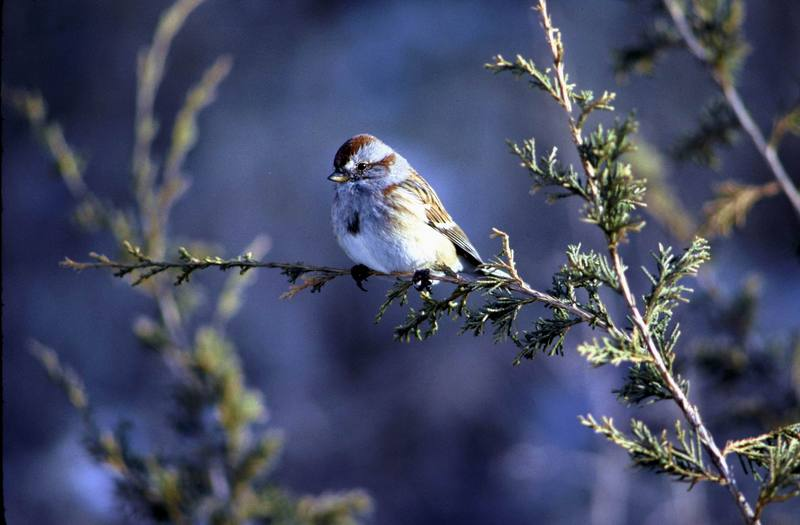 American Tree Sparrow (Spizella arborea) <!--북아메리카멧참새-->; DISPLAY FULL IMAGE.