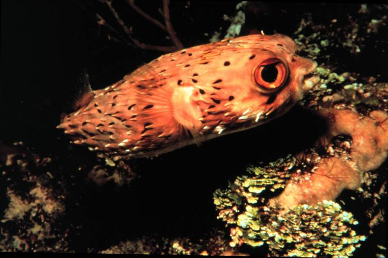 Spiny Puffer (Diodon holocanthus) {!--가시복-->; DISPLAY FULL IMAGE.