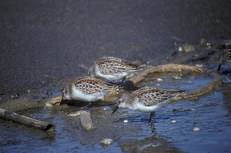 Western Sandpiper (Calidris mauri) <!--마우리도요-->; DISPLAY FULL IMAGE.
