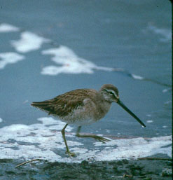 Long-billed Dowitcher (Limnodromus scolopaceus) <!--긴부리도요-->; Image ONLY