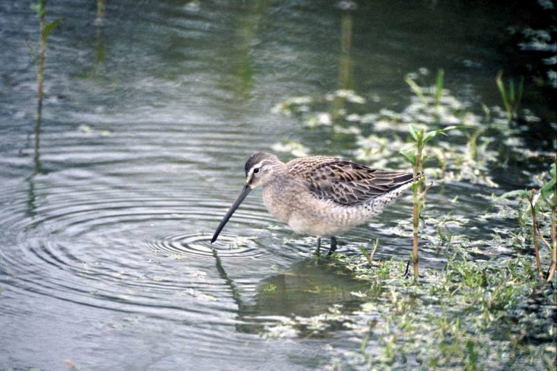 Long-billed Dowitcher (Limnodromus scolopaceus) <!--긴부리도요-->; DISPLAY FULL IMAGE.