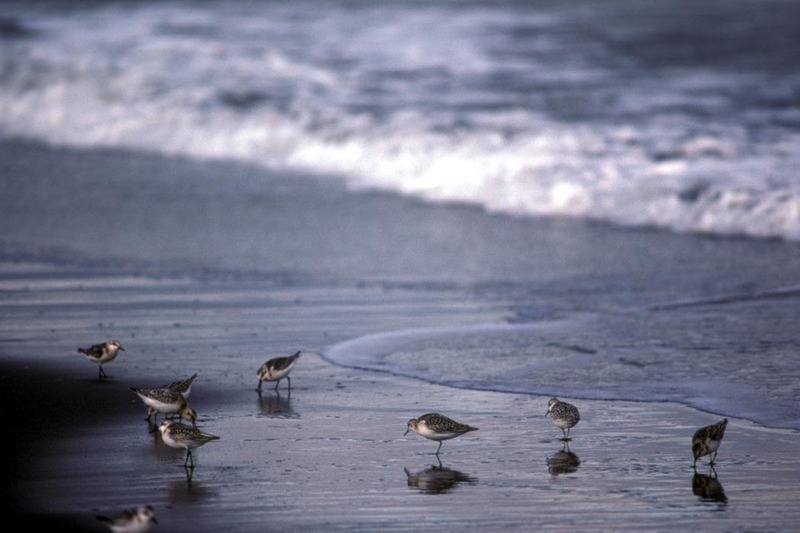 Sanderling (Calidris alba) <!--세가락도요-->; DISPLAY FULL IMAGE.