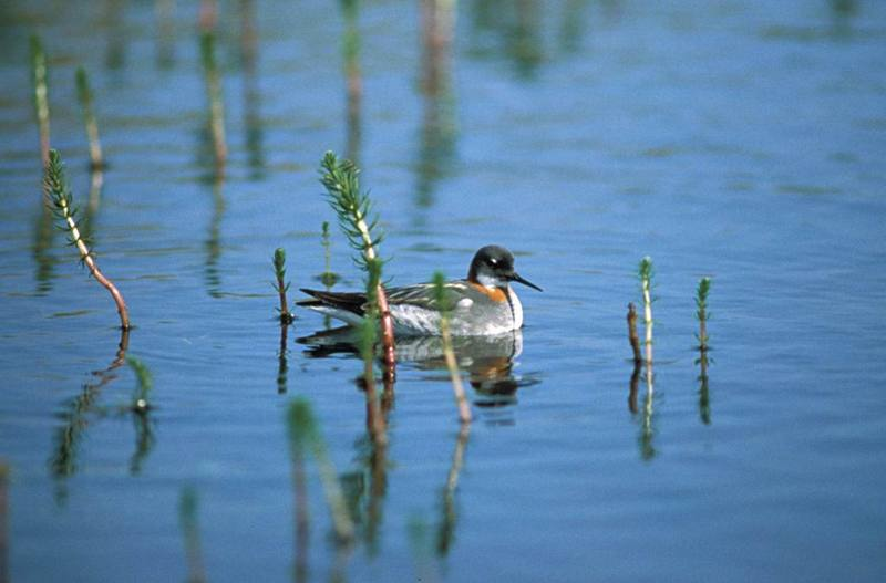 Red-necked Phalarope (Phalaropus lobatus) <!--지느러미발도요-->; DISPLAY FULL IMAGE.