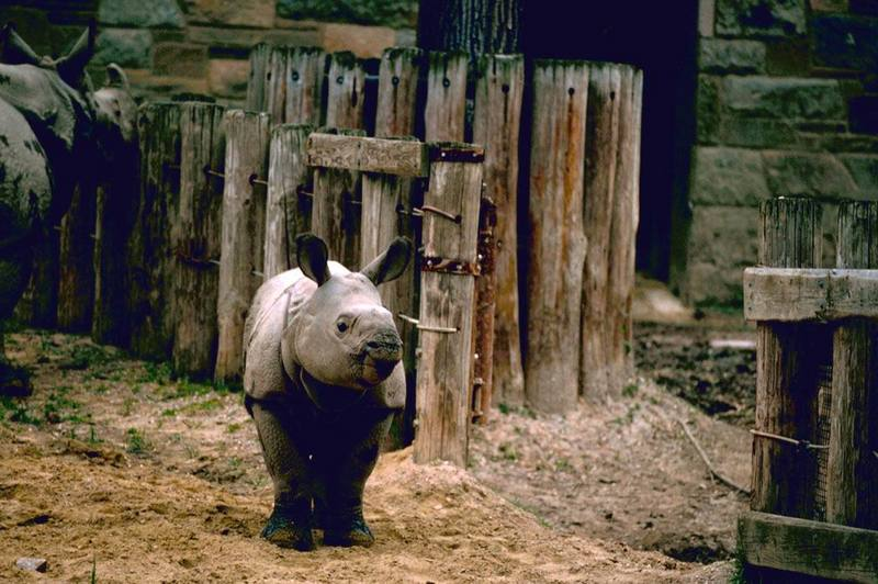 Indian Rhinoceros (Rhinoceros unicornis) <!--인도코뿔소-->; DISPLAY FULL IMAGE.