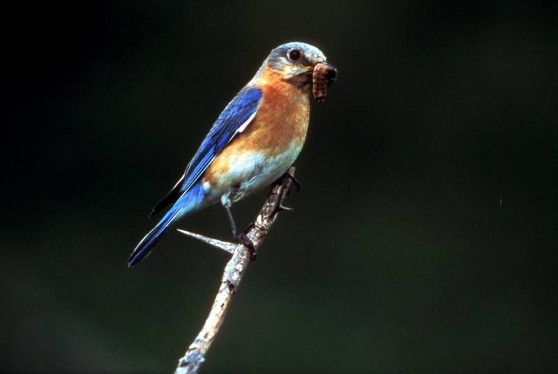 Eastern Bluebird (Sialia sialis) <!--동부파랑지빠귀-->; DISPLAY FULL IMAGE.