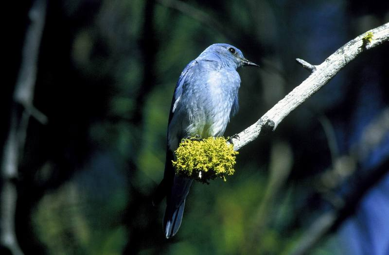 Mountain Bluebird (Sialia currucoides) <!--산파랑지빠귀-->; DISPLAY FULL IMAGE.