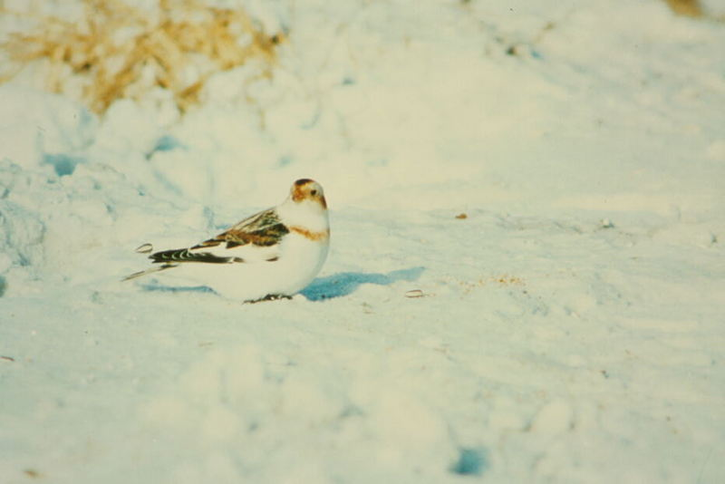 Snow Bunting (Plectrophenax nivalis) <!--흰멧새-->; DISPLAY FULL IMAGE.