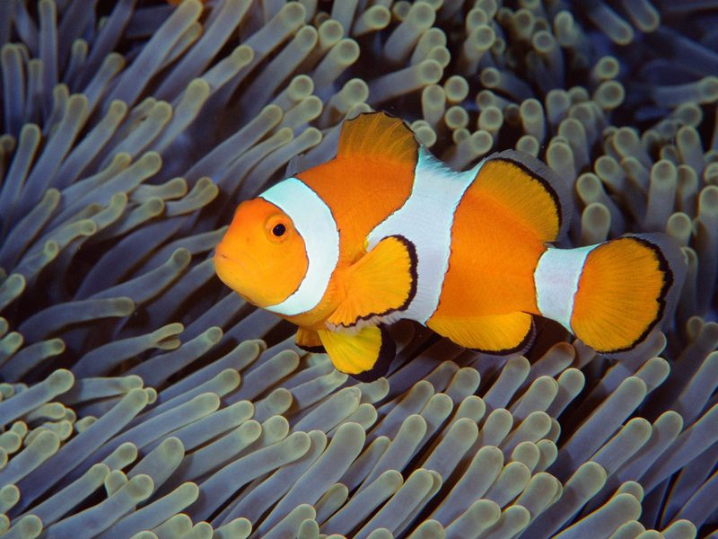 [Daily Photo CD03] False Clown Anemonefish, Bali, Indonesia; DISPLAY FULL IMAGE.