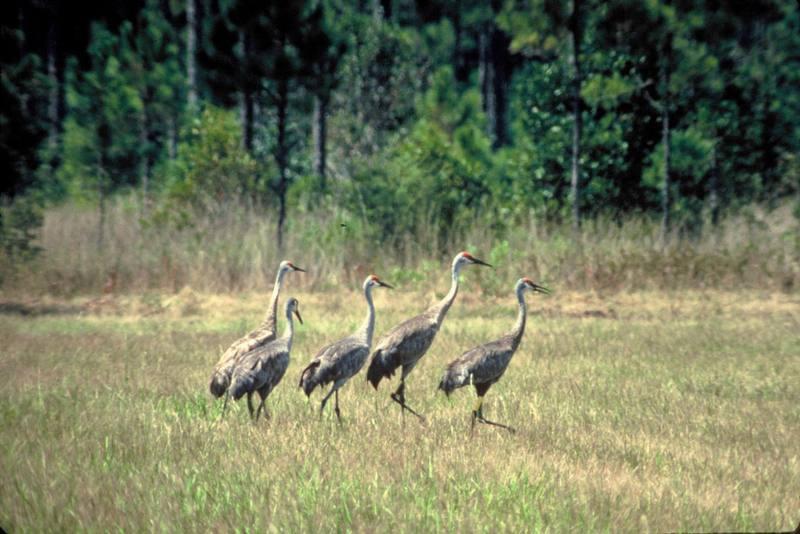 Mississippi Sandhill Cranes.jpg