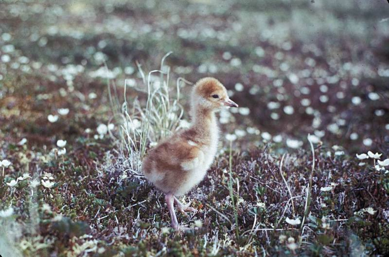 Sandhill Crane chick (Grus canadensis) <!--캐나다두루미-->; DISPLAY FULL IMAGE.