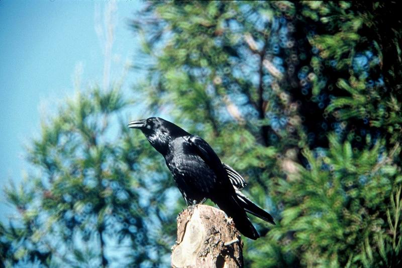 Common Raven (Corvus corax) <!--철새까마귀-->; DISPLAY FULL IMAGE.
