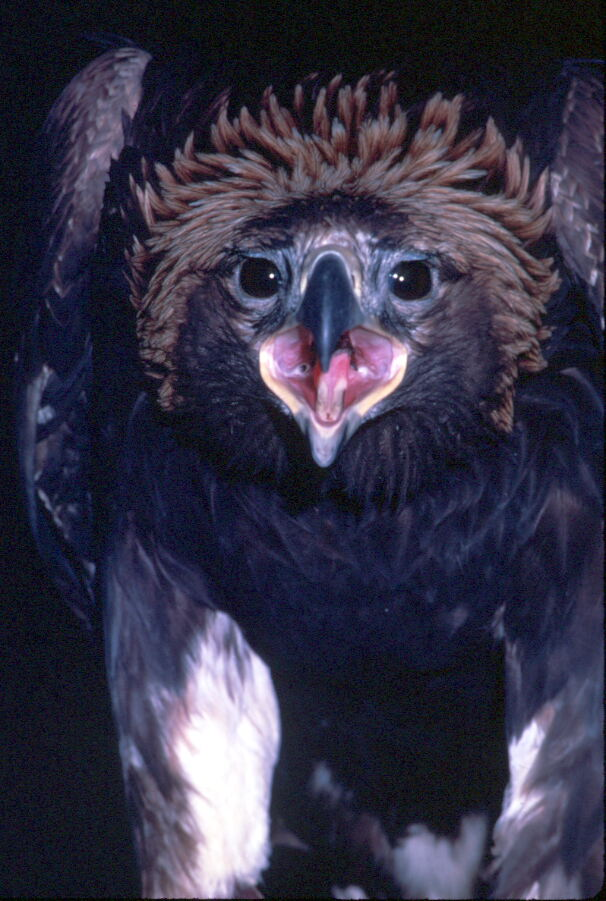 Golden Eagle (Aquila chrysaetos)<!--검독수리-->; Image ONLY