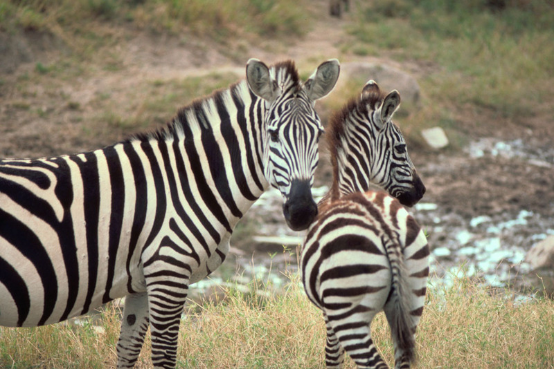 Grant's Zebra (Equus burchelli boehmi) <!--그랜트얼룩말-->; DISPLAY FULL IMAGE.
