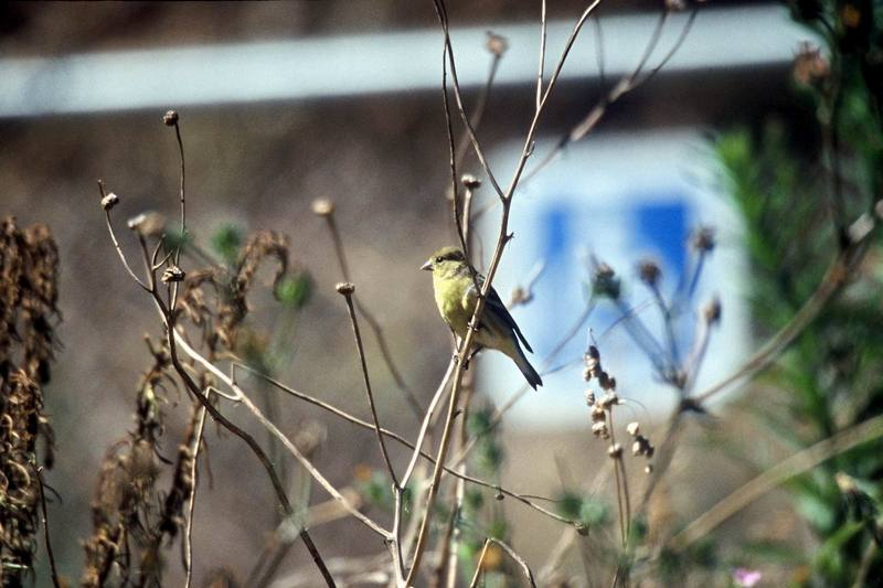 Lesser Goldfinch (Carduelis psaltria) <!--쇠금방울새-->; DISPLAY FULL IMAGE.