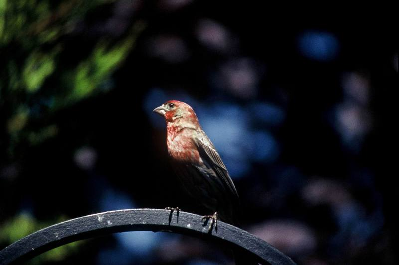 House Finch (Carpodacus mexicanus) <!--멕시코양진이-->; DISPLAY FULL IMAGE.
