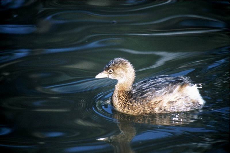 Pied-billed Grebe (Podilymbus podiceps) <!--얼룩부리논병아리-->; DISPLAY FULL IMAGE.