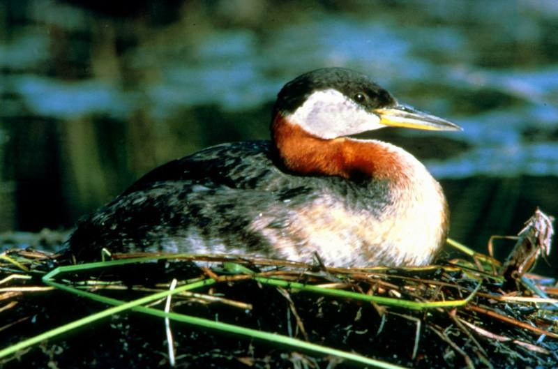 Red-necked Grebe (Podiceps grisegena) <!--큰논병아리-->; DISPLAY FULL IMAGE.