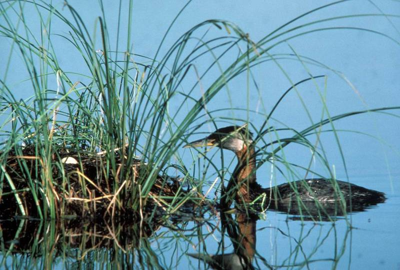 Red-necked Grebe and egg in nest (Podiceps grisegena) <!--큰논병아리-->; DISPLAY FULL IMAGE.