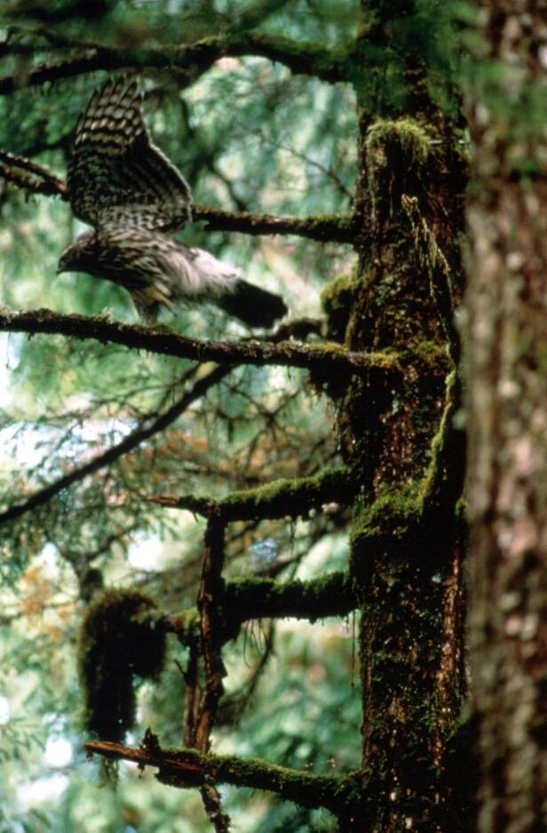 Northern Goshawk (Accipiter gentilis) <!--참매-->; Image ONLY