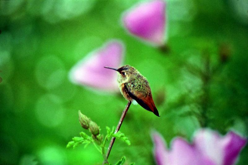 Allen's Hummingbird (Selasphorus sasin) <!--알렌벌새-->; DISPLAY FULL IMAGE.