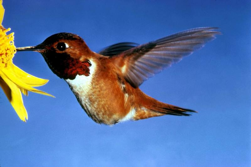 Rufous Hummingbird (Selasphorus rufus) <!--갈색벌새-->; DISPLAY FULL IMAGE.
