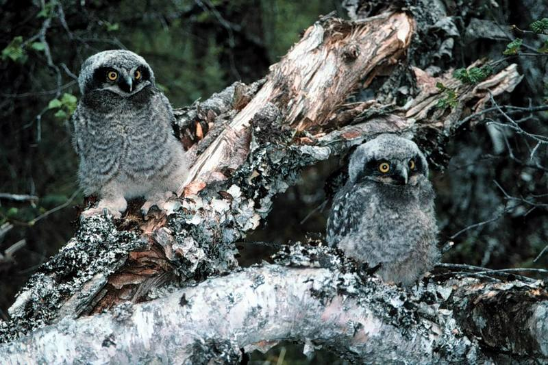Northern Hawk Owl chicks (Surnia ulula) [긴꼬리올빼미]; DISPLAY FULL IMAGE.