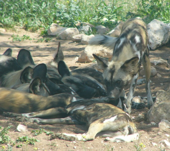 African dogs 2; Image ONLY