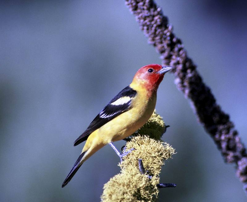 Western Tanager (Piranga ludoviciana) <!--비단풍금조(--風琴鳥)-->; DISPLAY FULL IMAGE.