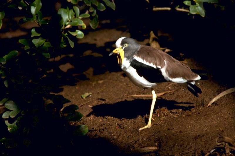 White-headed Lapwing (Vanellus albiceps) <!--흰머리물떼새(아프리카)-->; DISPLAY FULL IMAGE.