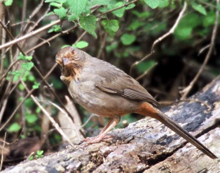 [Cropped] Canyon Towhee (Pipilo fuscus) <!--갈색발풍금새-->; Image ONLY