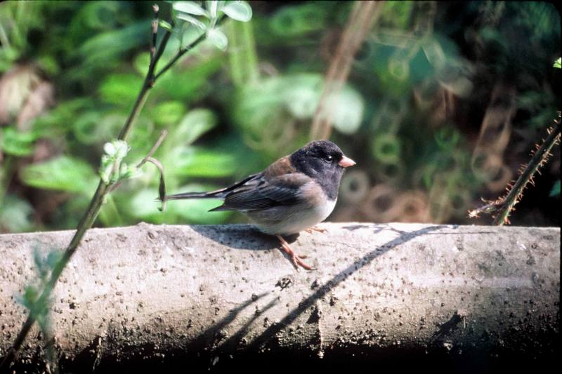 Dark-eyed Junco (Junco hyemalis) <!--검은눈방울새-->; DISPLAY FULL IMAGE.