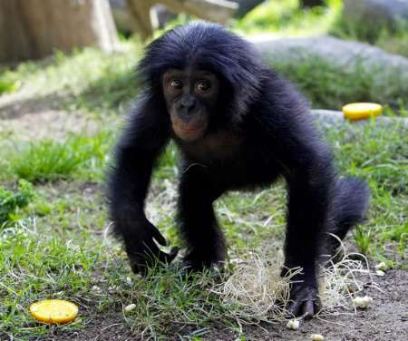 Bonobo infant, San Diego Zoo [REUTERS 2005-03-22]; Image ONLY