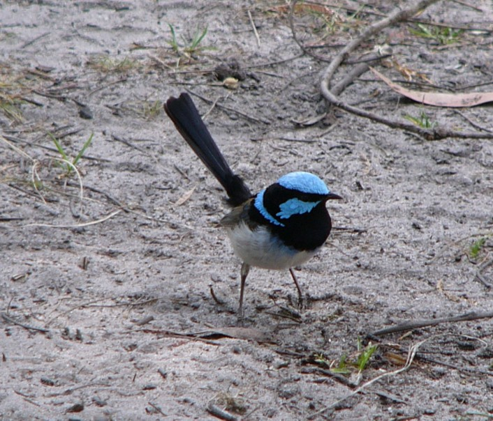 Fairy wren; Image ONLY