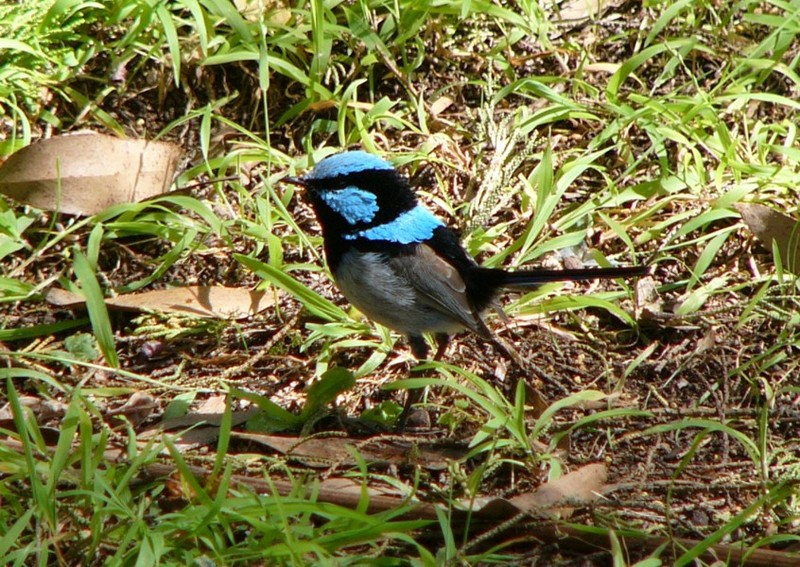 Fairy wren 3; DISPLAY FULL IMAGE.