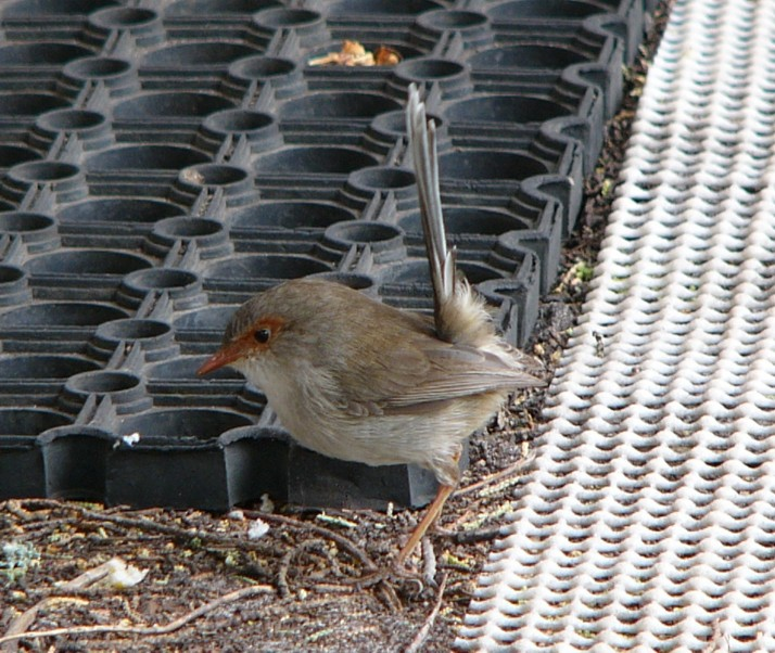Fairy wren 4; Image ONLY