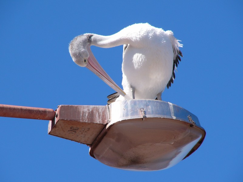 Australian pelican on pole; Image ONLY