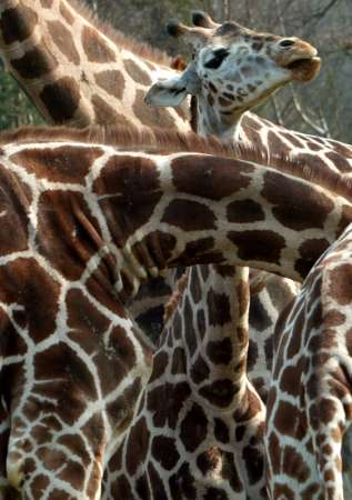 Giraffes, Safari Park, Germany [REUTERS 2005-04-06]; Image ONLY