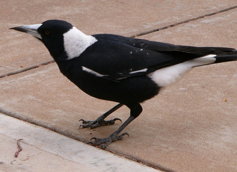 Australian magpie and worm 3; DISPLAY FULL IMAGE.