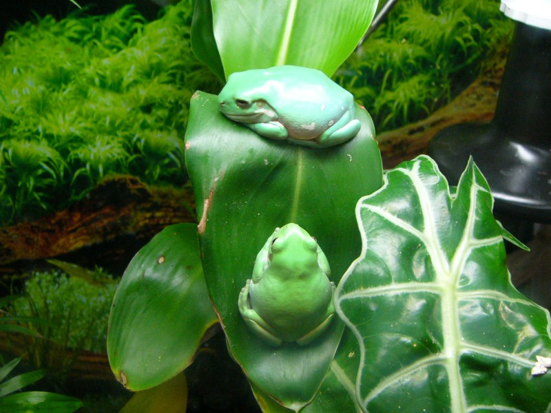 tree frogs 1; Image ONLY