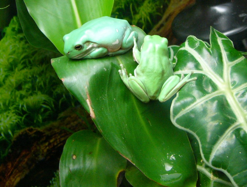 tree frogs 3; Image ONLY