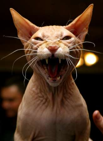 Hairless Cat Breed, Russia [REUTERS 2005-04-24]; Image ONLY