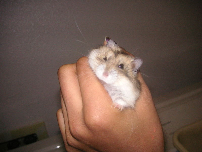 hamster; DISPLAY FULL IMAGE.