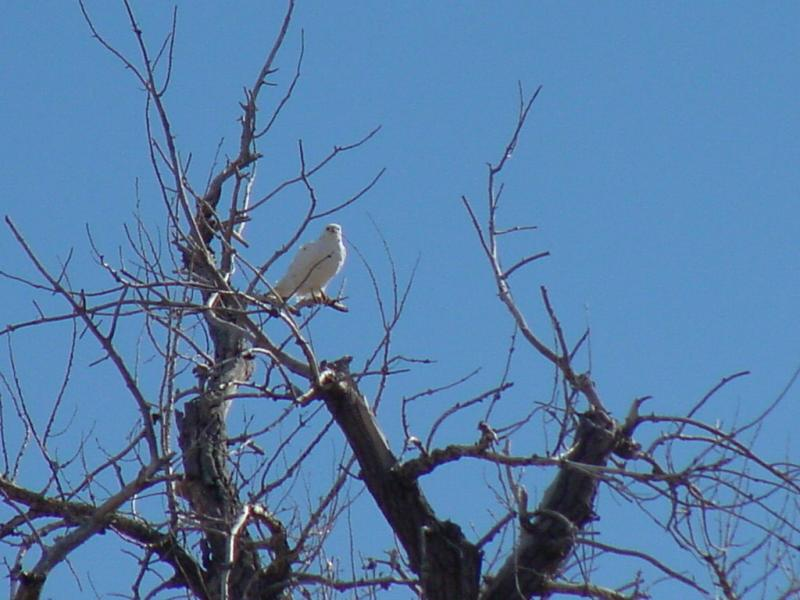 Albino Red Tail Hawk; DISPLAY FULL IMAGE.