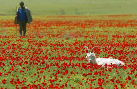 White Goat in Poppy Flower Field, Georgia [REUTERS 2005-04-28]; Image ONLY