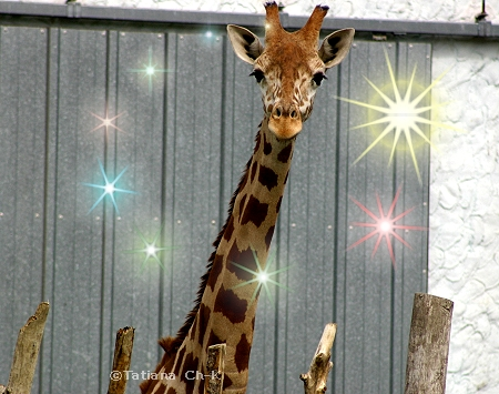 Giraffe (2 years' old); Image ONLY