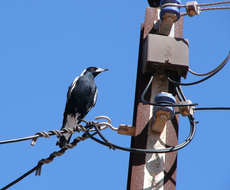 Australian magpie on pole; Image ONLY