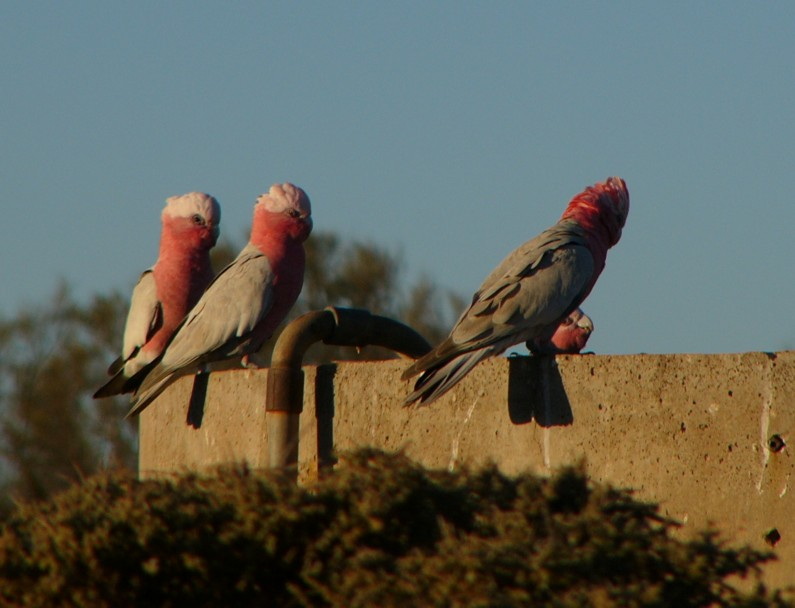 galahs at sunset 3/6; Image ONLY