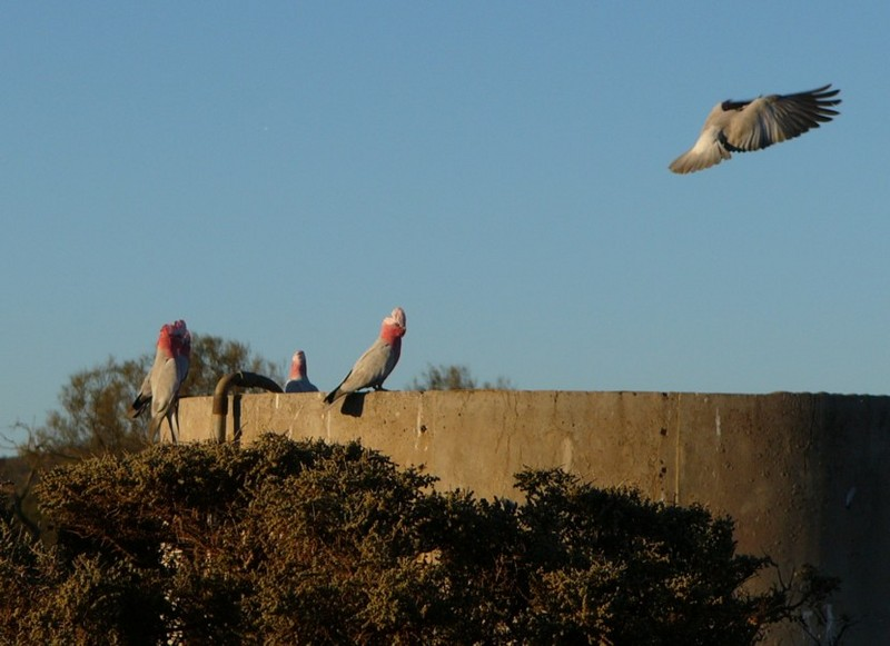 galahs at sunset 4/6; DISPLAY FULL IMAGE.